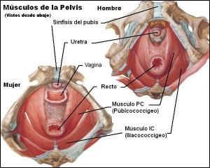 varon y mujer musculos pelvis